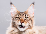 Fototapety Portrait of domestic black tabby Maine Coon kitten - 5 months old. Cute striped kitty looking at camera. Beautiful young cat make funny face on grey background.