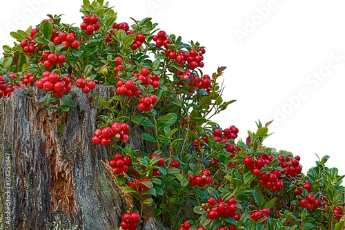 lingonberry on a rotten tree stump on a white background. Black Bedroom Furniture Sets. Home Design Ideas