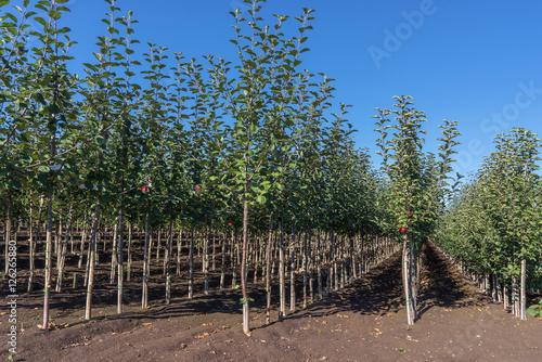 Zahlreiche junge Apfelbäume in Reihen in einer Baumschule