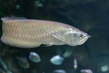 Fish - Silver Arowana (Osteoglossum bicirrhosum)