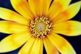 Close-up inside of a yellow flower. Gazania rigens