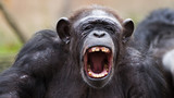 portrait of a chimpanzee yelling - 126313801