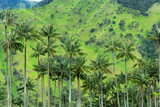 Wax Palm Trees View