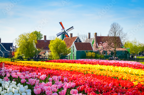 Papiers peints Amsterdam Landscape with tulips in Zaanse Schans, Netherlands, Europe