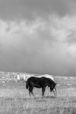 A close up landscape black and white image of a black and a white horse