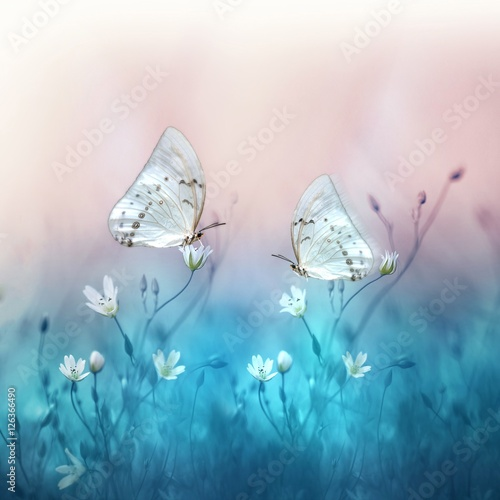 Zdjęcia na płótnie, fototapety na wymiar, obrazy na ścianę : Two beautiful white butterfly on small white flowers on blurred blue and soft pink background. Spring and summer floral background with butterflies. Gentle romantic dreamy artistic image.