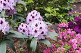Rhododendron (Azalea) flowers closeup, local focus, shallow DOF
