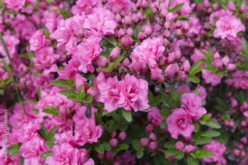 Fotobehang Azalea flowers of pink azalea (rhododendron), local focus, shallow DOF