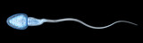 Sperm illustration, Medically accurate 3D illustration - 126371082