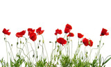 red poppies on white - 126382405
