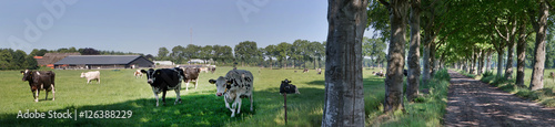 cows in meadow with lane - 126388229