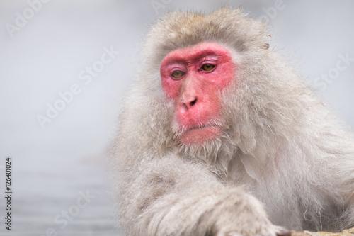 Poster, Tablou Monkeys bathe in hot springs in Nagano, Japan
