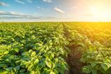 Green field of potato crops in a row - 126411471