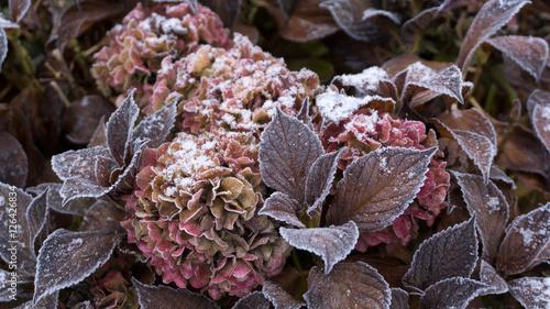 Aluminium Hydrangea Eine blühende Hortensie mit Frost