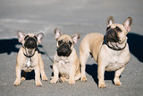 Three Funny Lovely French Bulldogs Dogs Puppies Outdoor