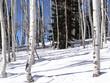 Bare white winter apsens