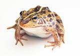 Frog on White