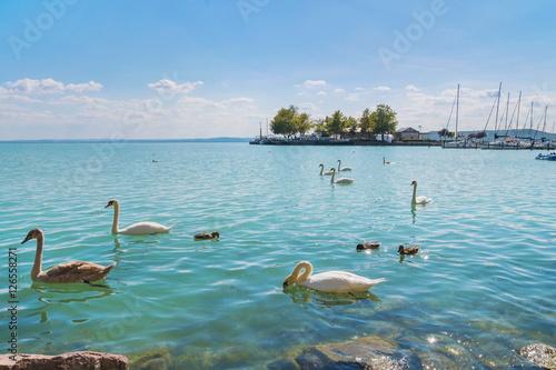 Port of Balatonfured and Lake Balaton with swans, Hungary Poster