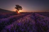 Lonely tree in lavender field at sunrise near Kazanlak town, Bulgaria