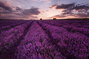 Sunset at lavender field near Burgas city, Bulgaria