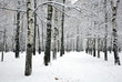 Beautiful pathway in birch grove with covered snow branches