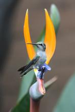 Hummingbird toujours assis sur un oiseau de paradis de fleurs
