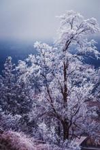L'hiver et le gel sur les arbres à Spokane