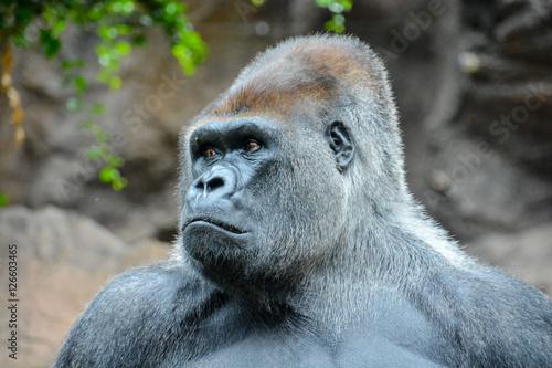 Poster Strong Adult Black Gorilla