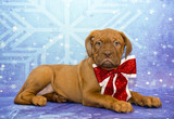Holiday Dogue De Bordeaux with a bow!
