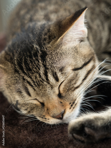 Fotografiet 子猫の昼寝