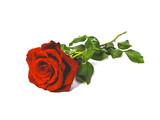 rosa rossa regalo amore
