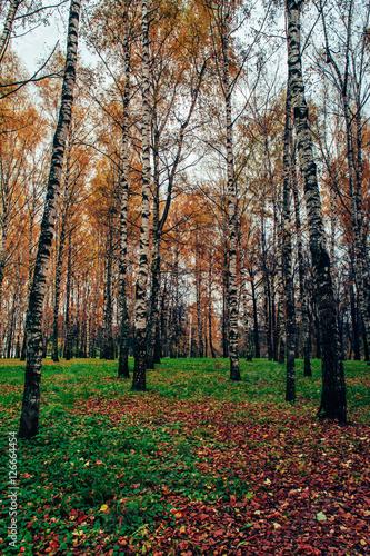 Осенняя березовая роща