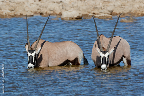 Poster Gemsbok antelopes (Oryx gazella) wading in water, Etosha National Park, Namibia