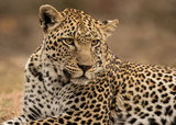 Leopard Lying Down (Panthera pardus) - Sabi Sands Game Reserve, South Africa
