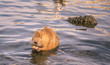 Постер, плакат: Funny river animal with apple slice in paws Cute orange coypu holding a slice of apple in its paws on Vltava river in Prague Czech Republic