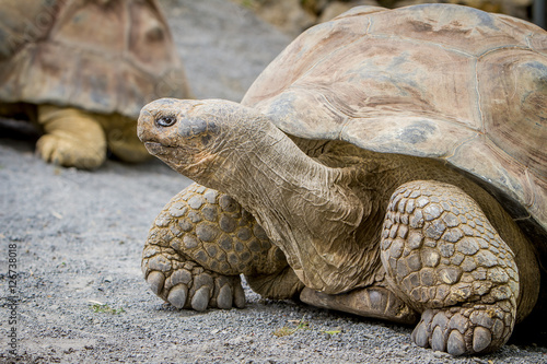 Staande foto Zanzibar Giant grey tortoise standing on tropical island