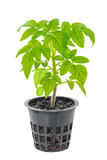 young seedling of fresh green tomatoes in flower pot is isolated