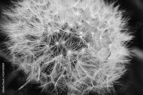 Black and white abstract close up macro of dandelion head that has gone to seed © PNPImages