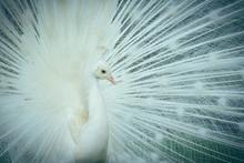 Blanc portrait de paon indien, avec un plumage blanc, assez rare