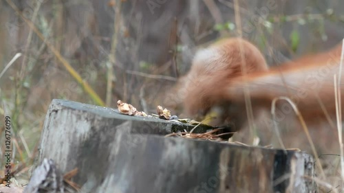 Tuinposter Eekhoorn Cute red squirrel sits on the tree stump and eating walnut in the autumn park