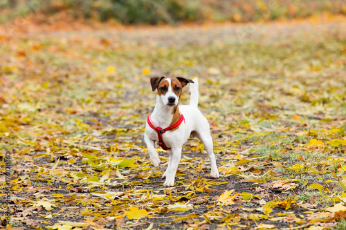 Poster Young Jack Russell Terrier