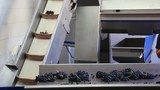 Harvest of grapes on a sorting conveyor belt in the winery