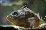 Blackbelly rosefish (Helicolenus dactylopterus)