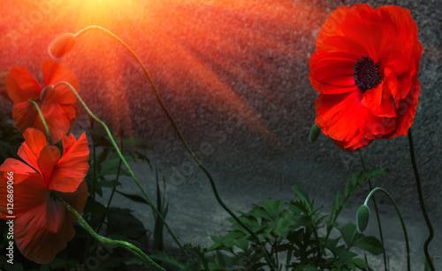 Foto op Plexiglas Klaprozen wild poppy flower at sunset