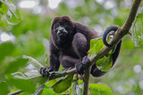 Male howler monkey resting in the trees surrounded with green leaves