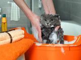 The process of washing the cat in the bathroom in the pelvis. Wet, scared and unhappy cat, a human hand, a lot of suds - 126928855