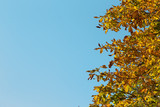 chestnut tree in autumn with yellow autumn leaves on light blue sky background