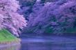 日本のサクラ