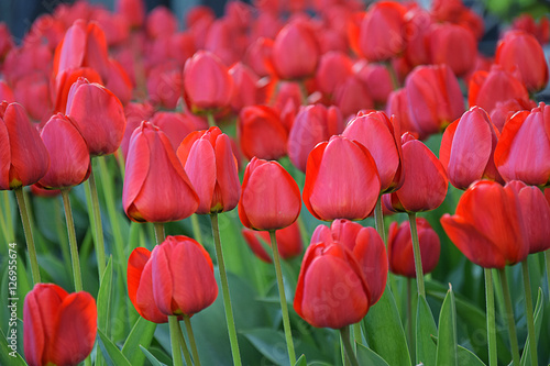 Blossoming of tulips Poster