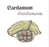 Cardamom. Spice cardamom color vector illustration. skech Cardamom - 126956012